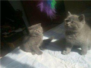 蓝猫小公两只一折耳!一立耳!
