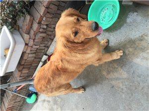 純種金毛種狗