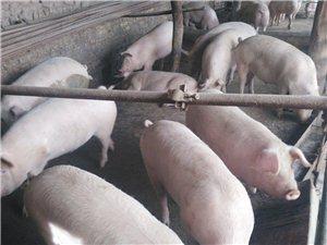 农家自养猪 吃着香