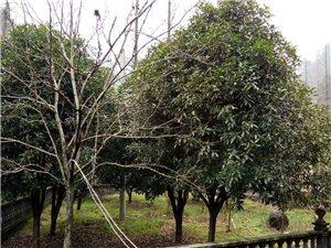 急售桂花树,茶花树