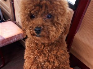 愛犬丟失廣大的濮陽愛狗人士能幫我找找嗎