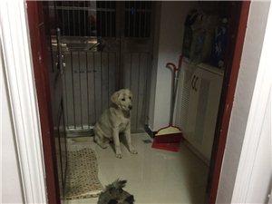 金沙灣中心城丟失白色拉布拉多犬一只