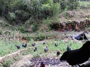 巴鲁村贵妃鸡养殖