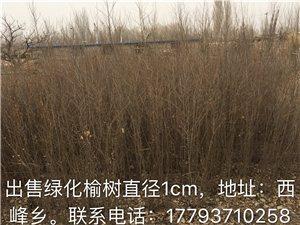 出售1cm榆樹苗