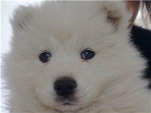招远40天的萨摩耶幼犬出售