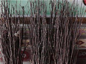 出售优质大红袍花椒树苗