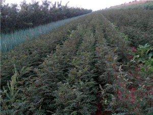 优质花椒树苗对外出售