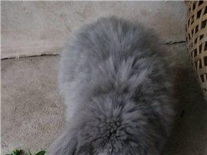 荷蘭垂耳兔求配偶