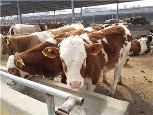 酒泉市常年养殖出售西门塔尔牛