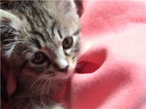 低价出售虎斑短毛猫