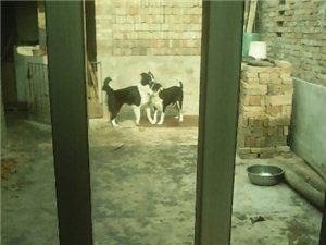 邊境牧羊犬出售