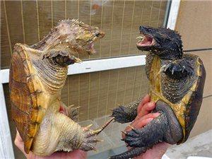 文玩,烏龜