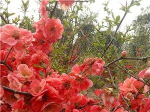 木本海棠花樹苗