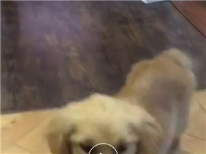 五个月大金毛幼犬