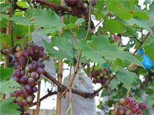 盆栽葡萄出售