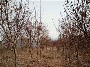 常年供應各種綠化苗木