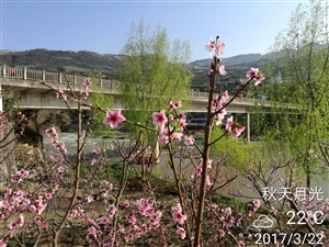 阳春三月踏青季,赤水河畔桃花开