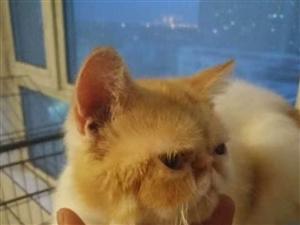 加菲10月公猫600
