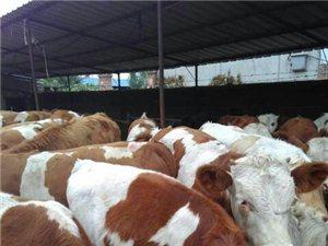 出售三到十二个月的肉牛