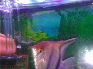 热带鱼秘鲁神仙鱼,燕鱼