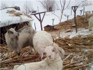 卖种奶山羊羊糕