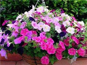 出售各種花卉植物吊蘭,可預定送貨上門