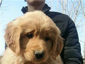 大头枫叶红金毛幼犬
