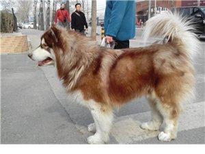 纯阿拉斯加雪橇犬
