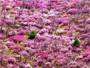 山樱花 不容错过