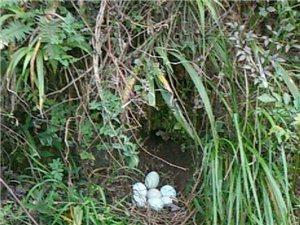 长期出售乌骨鸡 绿壳鸡蛋