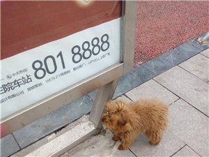寻找泰迪狗狗