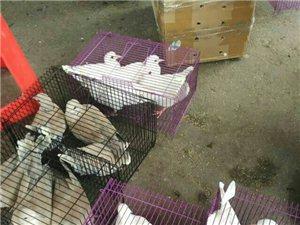長期出售各種寵物斑鳩