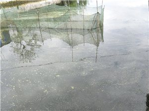 出售魚苗,草魚,鯉魚