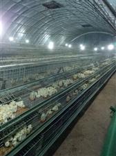 代育雏鸡,代售鸡饲料,雏鸡