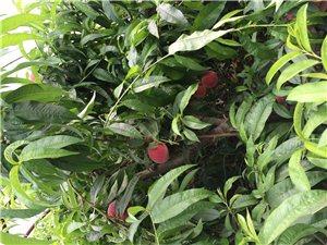 无公害无农药,鲜桃采摘园