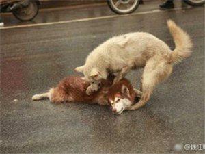 同伴被撞狗狗呜咽守候久久不忍离去。