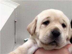 出售拉布拉多犬