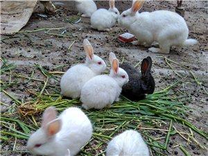 大兔,小兔,出售