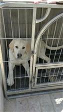 出售奶白色拉布拉多犬
