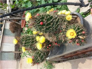 仙人球花卉