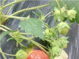 后硐草莓推廣基地草莓新熟迎五一