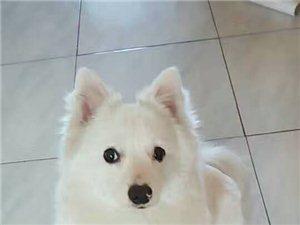 愛犬丟失銀狐犬,白色