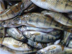 长年出售野生小河鱼,保质保量货源冲足