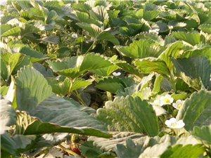 天然绿色草莓采摘