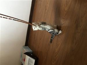真心想要养猫的来!价格可议!