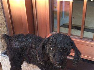 寻找走失的黑色贵宾犬