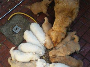 出售金毛幼犬和萨摩耶幼犬