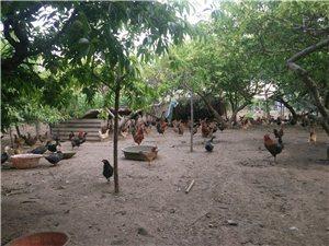自己家散养柴鸡,柴鸡蛋,不喂一点食料。