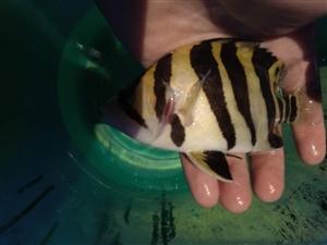 印尼精品三纹虎四纹虎热带观赏鱼