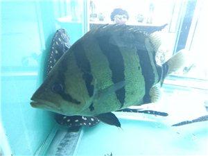 虎鱼大型渔场养殖三纹四纹热带观赏鱼
